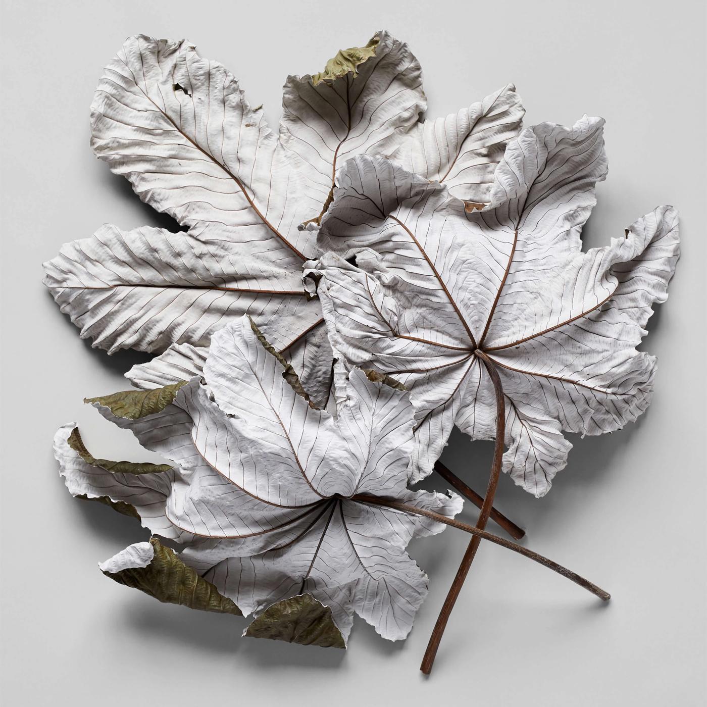 Bloomist Collections de Botanique Feuilles Cecropia Sécgées