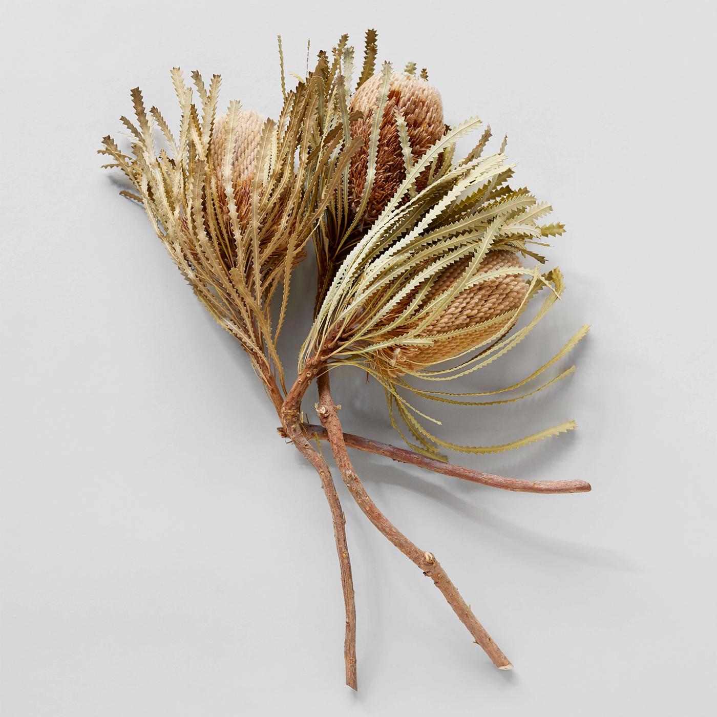 Bloomist Collections de Botanique Banksia Naturelles Séchées