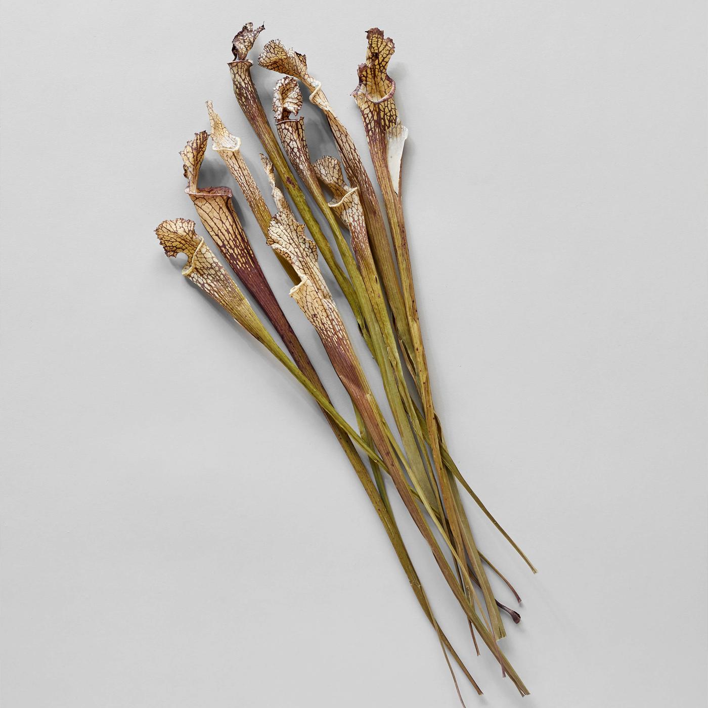 Bloomist Collections de Botanique Sarracénie