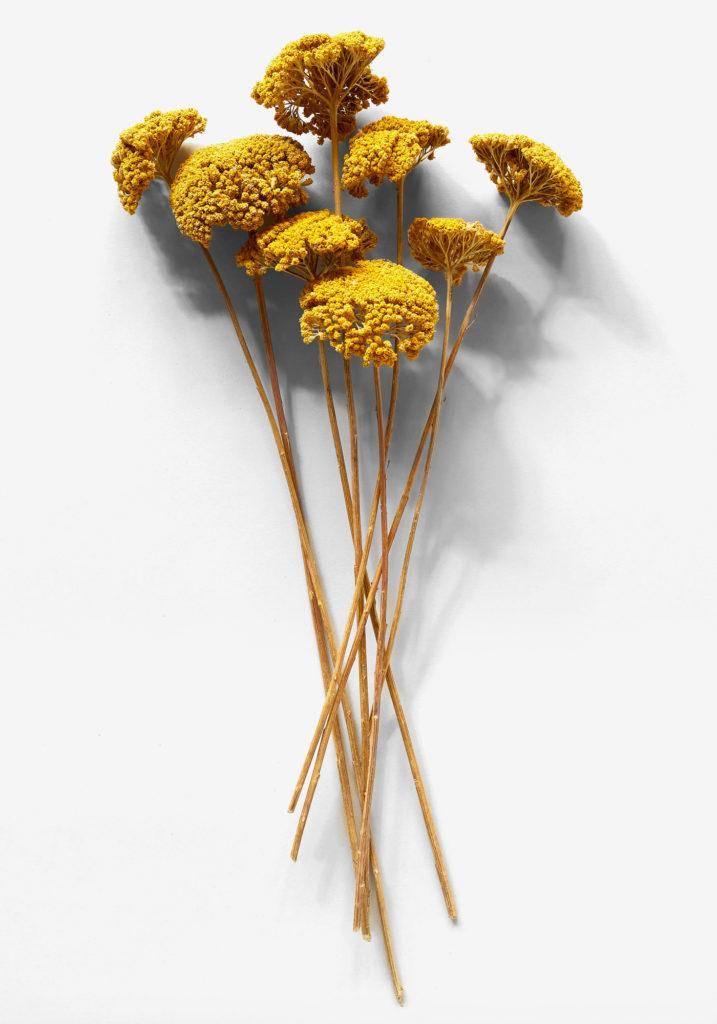 Bloomist Collections de Botanique Achillée Millefeuille
