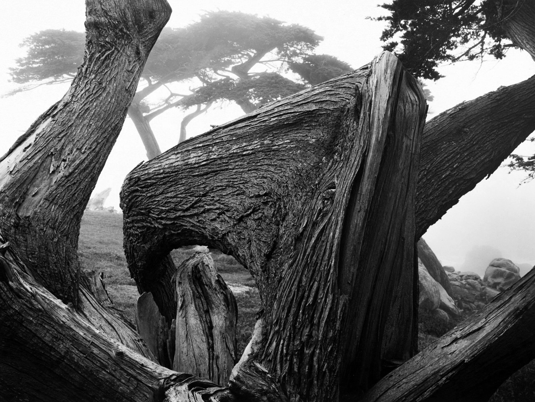 Ansel Adams Cypress Tree In Fog Pebble Beach California 1967