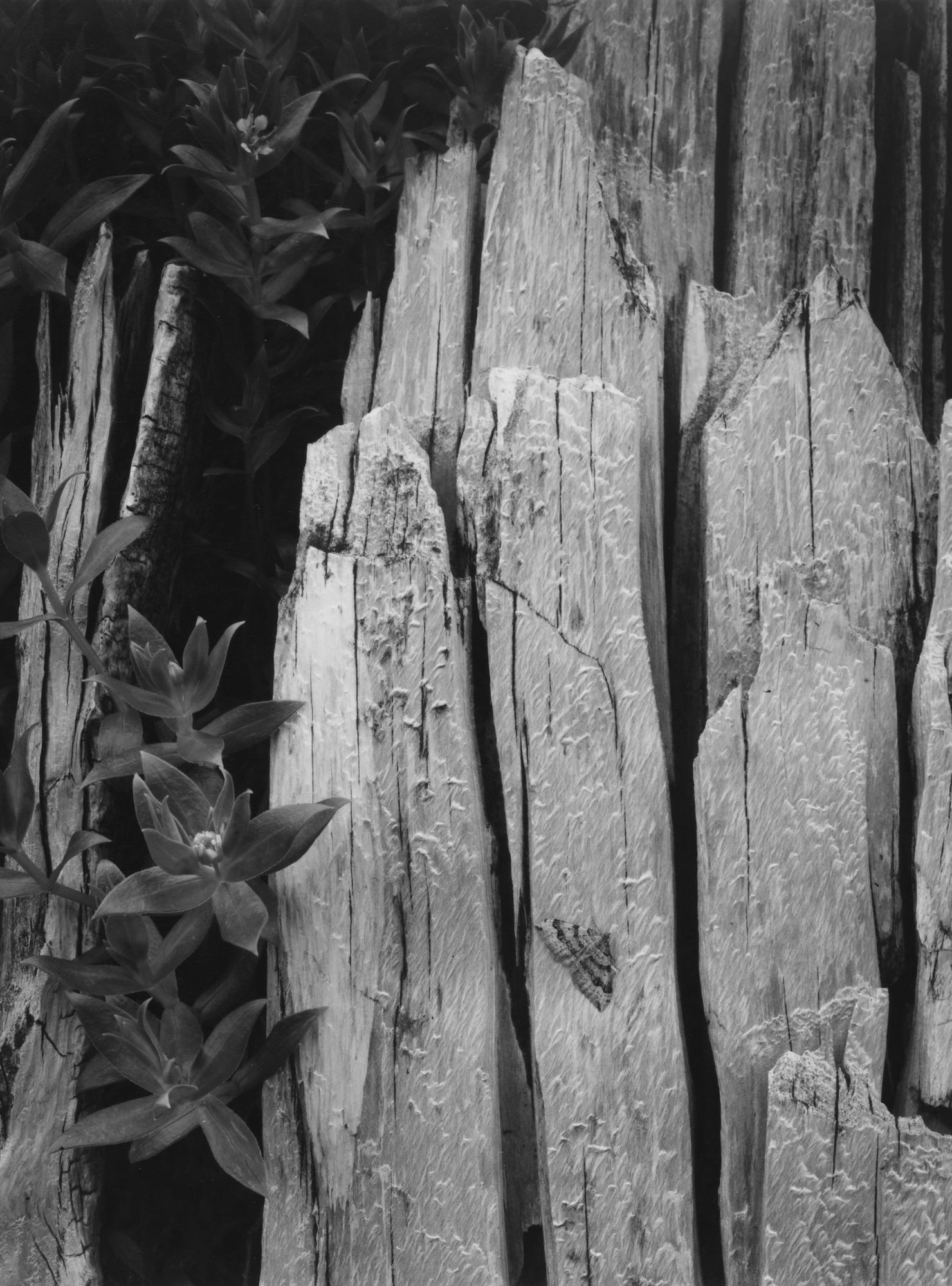 Ansel Adams Moth And Stump Interglacial Forest Glacier Bay National Monument Alaska 1949
