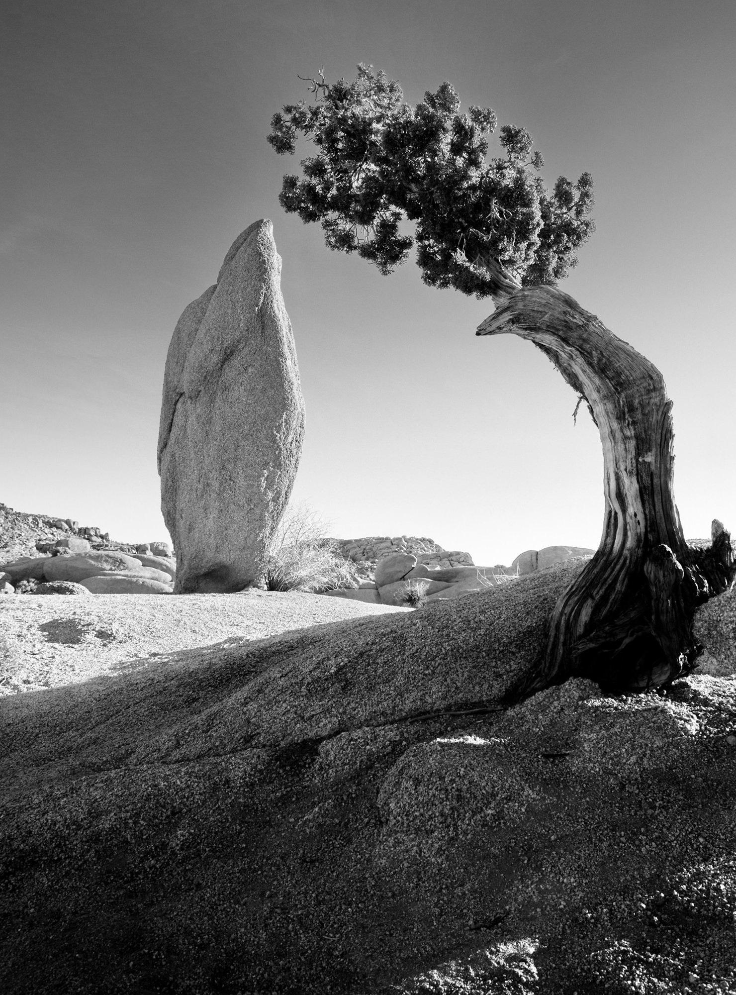 Ansel Adams Pine Tree Boulder Sierra Mountains Yosemite California
