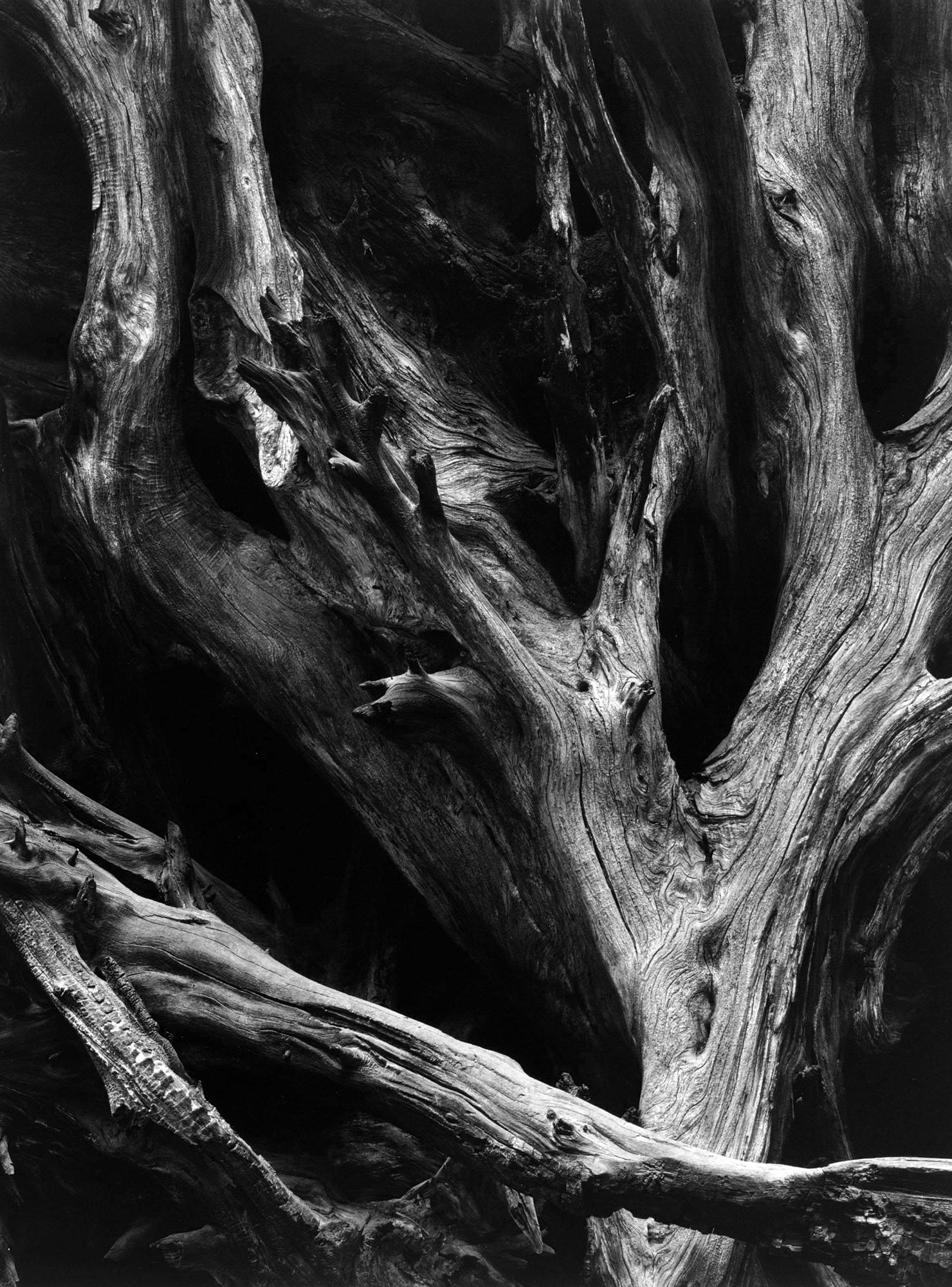 Ansel Adams Sequoia Gigantea Roots Yosemite National Park California v1950