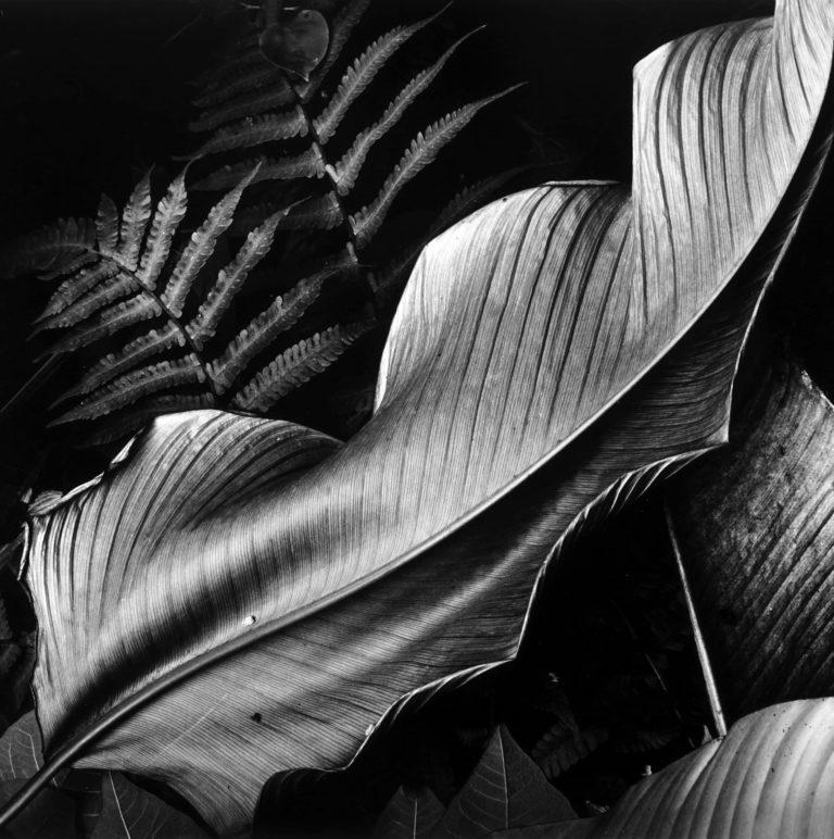Brett Weston Photographie Leaves Hawaii 1970